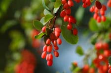 barberry Barberry Therapeutic Uses and Precautions