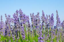 lavender Lavender Herbal Remedies