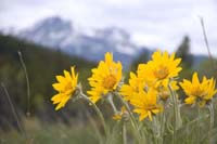 arnica Arnica Therapeutic Uses and Precautions