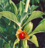 ashwagandha Ashwagandha Therapeutic Uses and Precautions