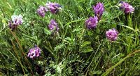 astragalus Astragalus Therapeutic Uses and Precautions