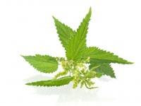 nettle Nettle Herb Information