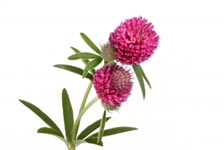 redclover Red Clover